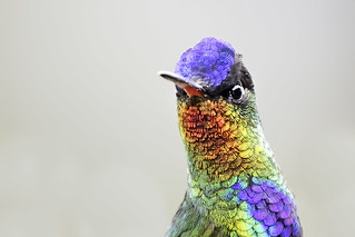 Fiery- throated Hummingbird