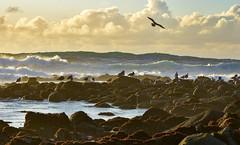 Gull Haven (Kristen Fletcher Photography) Tags: pacificgrove pacificocean pointpinos seagulls ocean coast oceanwaves rockyshore rockycoast sea seaside seashore coastline