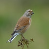 Linnet (ossie.g) Tags: linnet finch perch look back thistle white tail wing bird brown bill eye feather leg