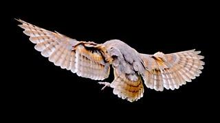 Barn Owl Inflight