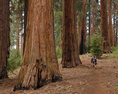 Sequoia National Park XI (Gustaf_E) Tags: america california forest giant landscape landskap nationalpark redwood sequoia sequoianationalpark skog tree träd usa woods