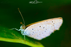 LITTLE_BUTTERFLY_1CM_SUPER_MACRO_&_BOKEH (paulomarquesfotografia) Tags: paulo marques sony a7 pentaxm 50mm f17 borboleta butterfly super macro bokeh close up dof
