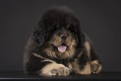 DeTienne_002 copy (natedetienne) Tags: ash tibetan mastiff puppy tm