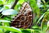 Himmelsfalter (ivlys) Tags: darmstadt vivarium zoo schmetterling butterfly insekt insect himmelsfalter blauermorphofalter morphopeleides blatt leaf natur nature makro macro ivlys