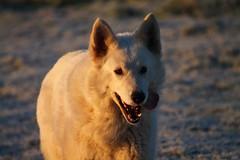 Chaud! (Le centre Bretagne, ça vous gagne) Tags: chien berger blanc neige glace hiver