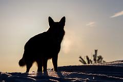 Шерлок в зимнем солнце