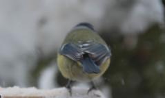 A mini fluffbutt on the move (evakongshavn) Tags: 7dwf fauna bird tit bluetit birdphoto gardenbirds feedthebirds birds