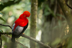 Andean Cock of the Rock (Rupicola peruvianus) perched on a branch in the rainforest (Chris Jimenez Nature Photo) Tags: rare tours birding chrisjimenez wildlife costarica colombia nature guiding birds photography rupicolaperuvianus andeancockoftherock gallitoderocaandino cali red