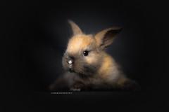 3 weeks (Photography Ilona Mikkonen) Tags: yellow rabbit pet petphoto cute cuterabbit