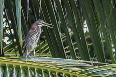 black-crowned night-heron, immature (greenjay2) Tags: cuba greenheron