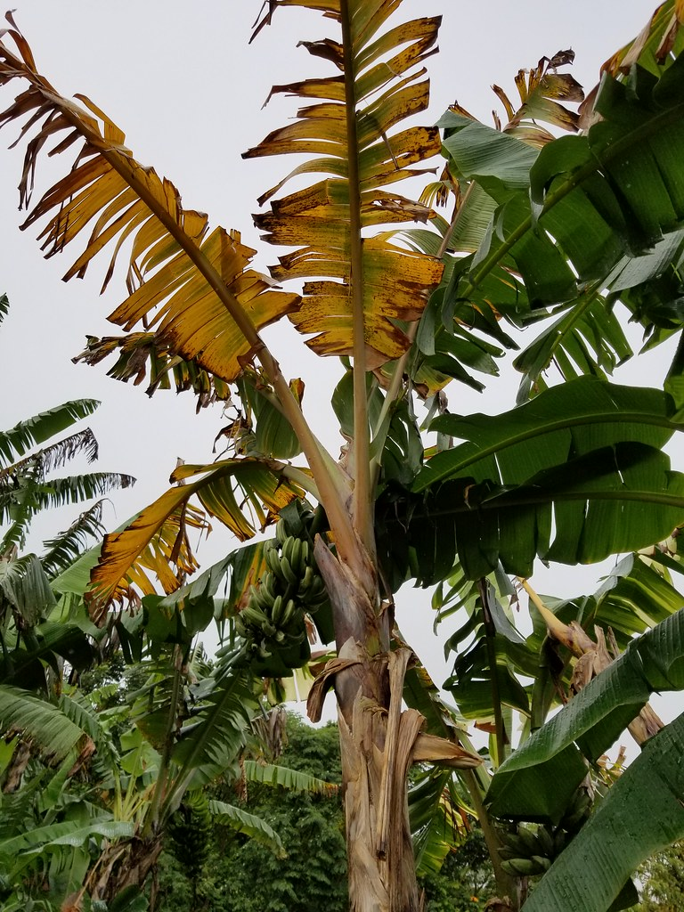 Research paper fusarium wilt on abaca