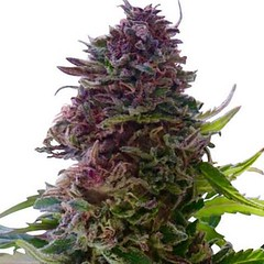 granddaddy-purple-seeds-fem_large (Watcher1999) Tags: grand daddy purple cannabis seeds growing medical marijuana california ganja kush bong splif
