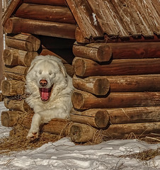 my name is Happy :) (Luana 0201) Tags: happy yawning cage winter white