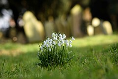 Probably the last snowdrops pic this year ? (Barry Potter (EdenMedia)) Tags: barrypotter edenmedia nikon d7200 snowdrops sigmalens nikonflickrtrophy