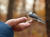 A friendly moment (annkelliott) Tags: calgary alberta canada fishcreekpark eastend nature wildlife ornithology avian bird nuthatch whitebreastednuthatch sittacarolinensis orderpasseriformes familysittidae genussitta female perched hand man sideview bokeh trees woodland fallcolours outdoor autumn fall 10october2017 fz200 fz2004 panasonic lumix annkelliott anneelliott ©anneelliott2017 ©allrightsreserved
