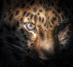 The hunt (10000 wishes) Tags: portrait wildlifephotography amurleopard bigcat preditor shadows beauty eyes endangered