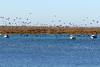 Cormorants Galore (Roy Lowry) Tags: riaformosa faro cormorant phalacrocoraxcarbo