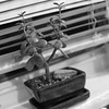 Minding Your Own Business (andymudrak) Tags: 365 plant succulent tray window sill photography bw squareformat blinds minding