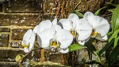 Moth Orchids (Phalaenopsis ) @ Lewis Ginter Botanical Garden - Richmond, VA (Paul Diming) Tags: dailyphoto libbyandfloydgottwald marygarlandsmith nancyandbrucegottwald botanicgarden nikon1v1 powhatanindians lakesidewheelclub virginia ufton bloemendall lewisginterbotanicalgarden richmond gracearents phalaenopsis pauldiming v1 spring n1v1 botanicgardens botanicalgardens conservatory mothorchid gottwaldfoundation lewisginter landscape annecobbgottwald graceearentstrust richmondvirginia therichmondhorticultureassociation majorlewisginter garden botanicalgarden gardens oughnum henrico unitedstates us