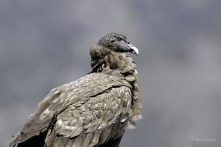 Andean Condor and Spring Break