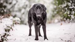 Still. (Marcus Legg) Tags: max snow dog black labrador retriever pet petportrait pets outdoors outside bokeh winter blacklabradorretriever shiny canon eos 1dx ef70200mmf28lisii cold ice fur dogs chilled