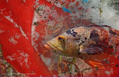 red waterworld (gabi lombardo) Tags: animale pesce fish tier fisch red rosso rouge poisson creativity eye occhio auge