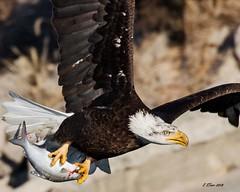 IMG_8945 american bald eagle (starc283) Tags: wildlife flickr flicker winter starc283 canon canon7d bird birding birds eagle americanbaldeagle baldeagle outdoors outdoor raptor