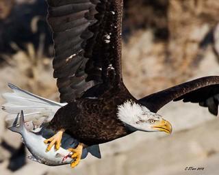 IMG_8945 american bald eagle