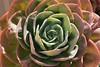 Echeveria Kultivar; Sagres, Algarve (3) (Chironius) Tags: sagres algarve portugal laub saxifragales steinbrechartige crassulaceae dickblattgewächse