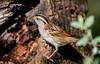 White-throated Sparrow (hyu767) Tags: whitethroatedsparrow sparrow