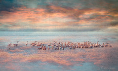 13 gennaio 2018, fenicotteri nella laguna di Orbetello (adrianaaprati) Tags: fenicotteri flamingos flamant birds wildanimals orbetello italy sunset lagoon sea sky clouds outdoors landscape