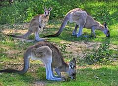 Trio of eastern grey kangaroos (elphweb) Tags: hdr highdynamicrange nsw australia kangaroo kangaroos