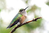 Broad-tailed Hummingbird -- Female (Selasphorous platycercus); Santa Fe National Forest, NM, Thompson Ridge [Lou Feltz] (deserttoad) Tags: wildlife nature newmexico behavior flight desert bird wildbird hummingbird
