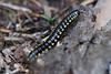 Cyanide Millipede 02 (Vincent Ferguson) Tags: harpaphehaydeniana millipede nature botanical creepy cyanide crawlie polydesmidan animal