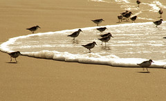 On The Hunt... (scrapping61) Tags: scrapping61 2017 california dillonbeach marincounty beach birds sandpipers