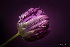 Violet tulip (Magda Banach) Tags: canon canon80d colors flora flower macro nature plants tulip violet