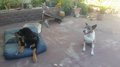 26804644_10214893017105884_4284180781799593881_n (natedetienne) Tags: ash tibetan mastiff puppy tm