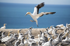 Inbound without clearance. (miketonge) Tags: australasiangannet gannet capekidnappers hawkesbay northisland newzealand plateau colony