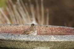 Bird Bath (caboose_rodeo) Tags: 1860 coscobct greenwichct bird montgomerypinetum favorite sparrow