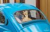 a beetle and a dog - Brazil (Luiz Contreira) Tags: dog brazil brasil brazilianphotographer car beetle oldcar street streetphotography southamerica américadosul colors cachorro dogs carro fotografiaderua rua minasgerais estradareal