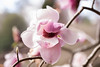 That time of the year again (Irina1010) Tags: magnolia bloom flower pink spring tree beautiful bokeh nature canon
