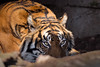 Tigre de Sumatra (bienve958) Tags: tigredesumatra sumatrantiger pantheratigrissumatrae tigwr tigre animal felinos carnivorous