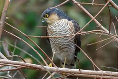 Sparrowhawk (stellagrimsdale) Tags: wildlife birdofprey sparrowhawk hawk rainhammarshes rspb eye feathers hunting bird canon nature outdoors beak wild brances tree twigs plumage amazingnature fantasticnature