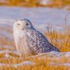 Snowy... (ragtops2000) Tags: owl snowy raptor field sitting white beautiful female pose unusual nebraska eastern colorful warmer migrating sunlight bright