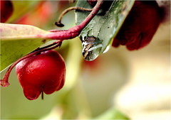 berry and drop.........gaultheria, bergthee (atsjebosma) Tags: berry drop bes druppel gaultheria garden tuin winter atsjebosma groningen thenetherlands 2018 bergthee nederland plant