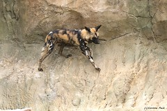 Lycaon (Passion Animaux & Photos) Tags: lycaon african wild dog lycaonpictus zoo beauval france