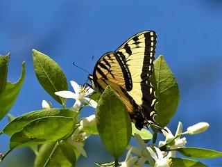 Citrus nectar