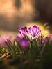 Love seat (Tomo M) Tags: crocus flower purple light bokeh nature two petal spring tokyo
