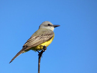 Couch's Kingbird (Tyrannus couchii)
