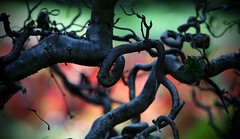 Twisted (Faron Dillon) Tags: green bokeh park toronto canon 5ds 70200l 2x extender iii tree red dark moody nature color saturated balls branches twig art day summer knot knots